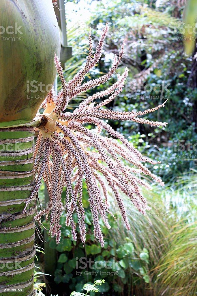 Nikau Palm in Flower stock photo