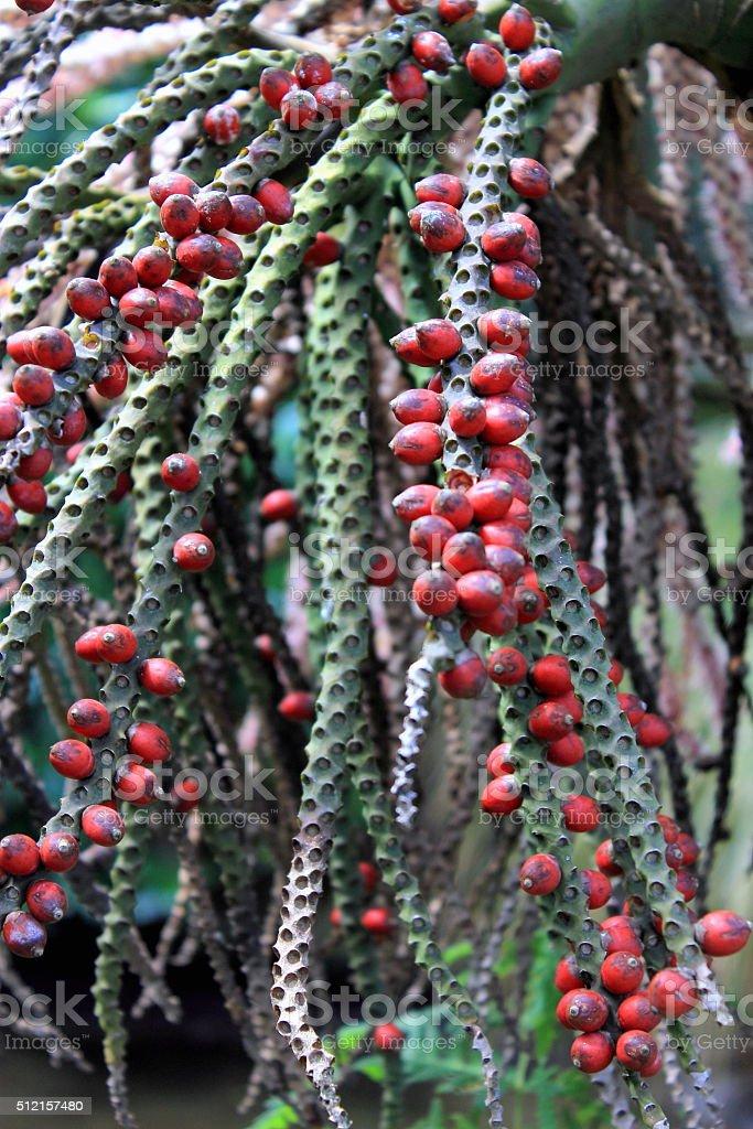 Nikau Palm in Fruit stock photo