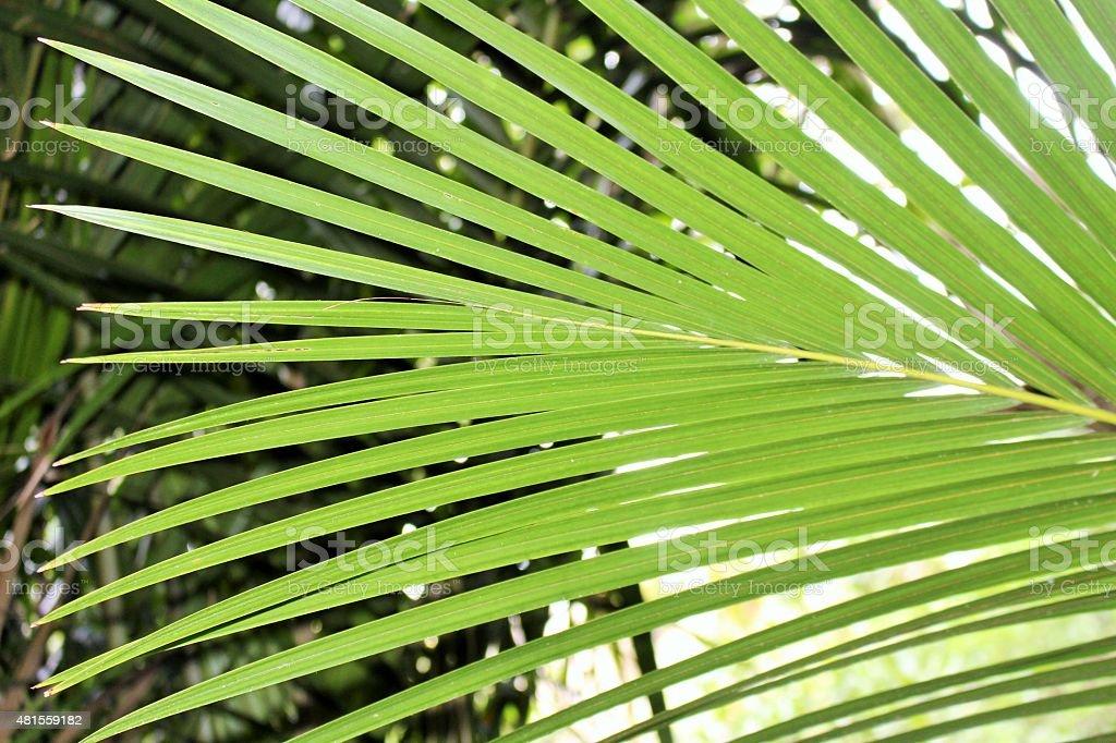 Nikau palm leaf stock photo