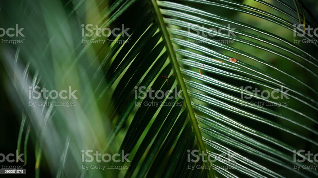 Nikau Palm Leaves (Rhopalostylis sapida) royalty-free stock photo