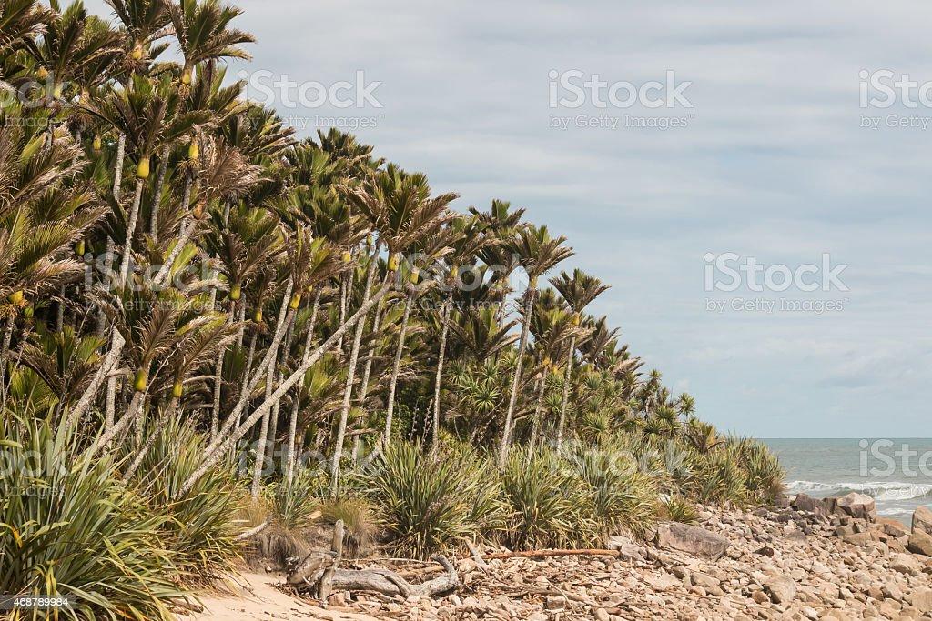 Nikau palms grove on New Zealand west coast stock photo