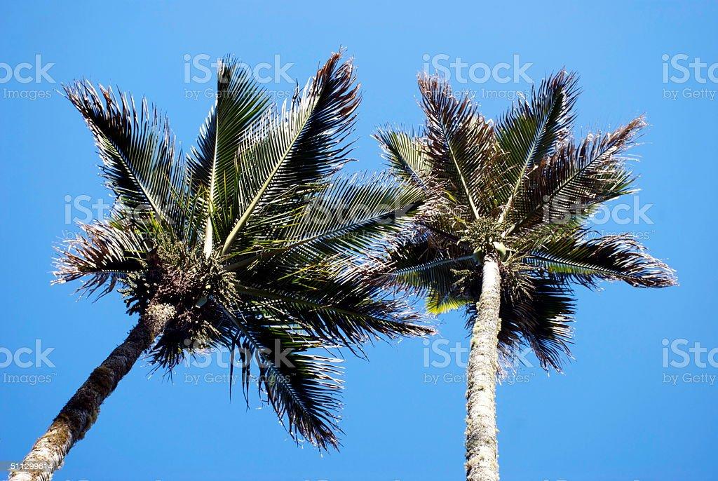 Nikau (Rhopalostylis sapida) Palms, New Zealand stock photo