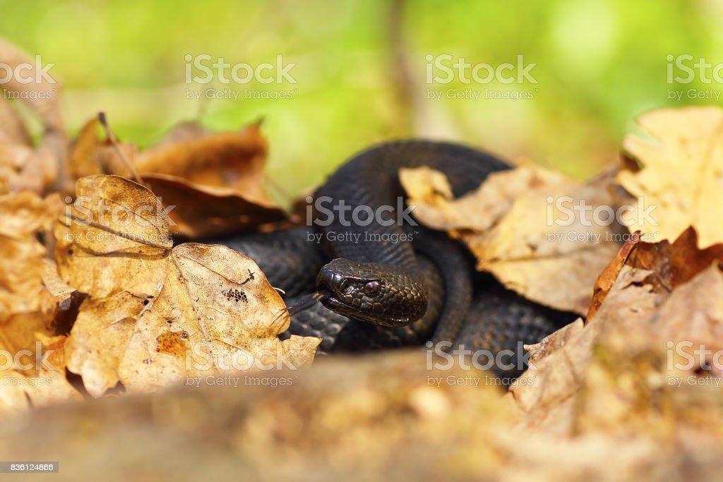 nikolsky black viper hiding amongst faded leaves stock photo