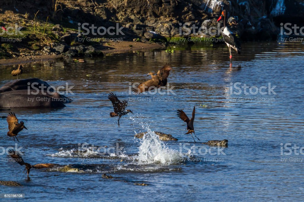 Nile crocodile and waterbirds in Kruger National park, South Africa stock photo