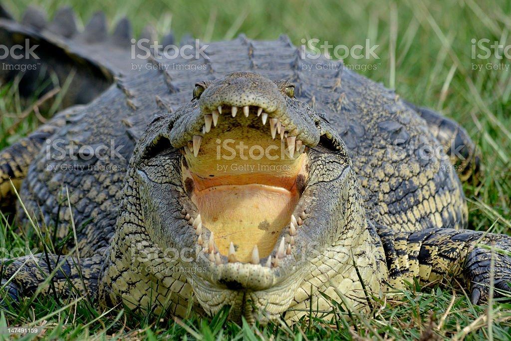 Nile Crocodile (Crocodylus niloticus) close up of mouth open stock photo