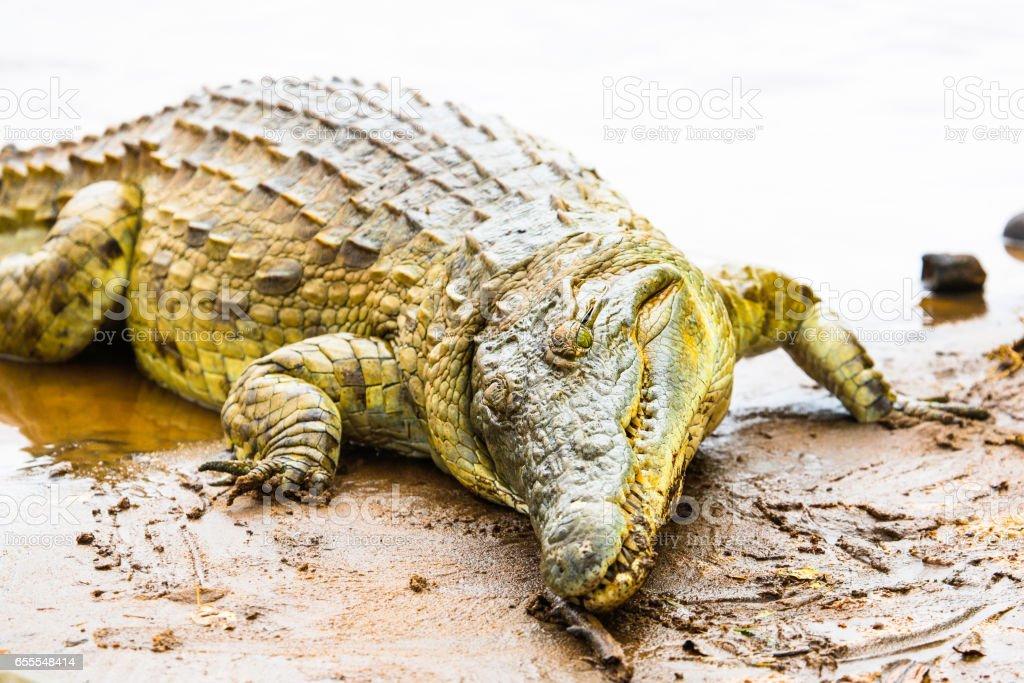 aa6c37fa38a7 Nile Crocodile Crocodylus Niloticus Galana River Kenya Stock Photo ...