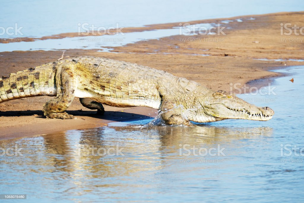 Crocodile du Nil, entrer dans l'eau - Photo