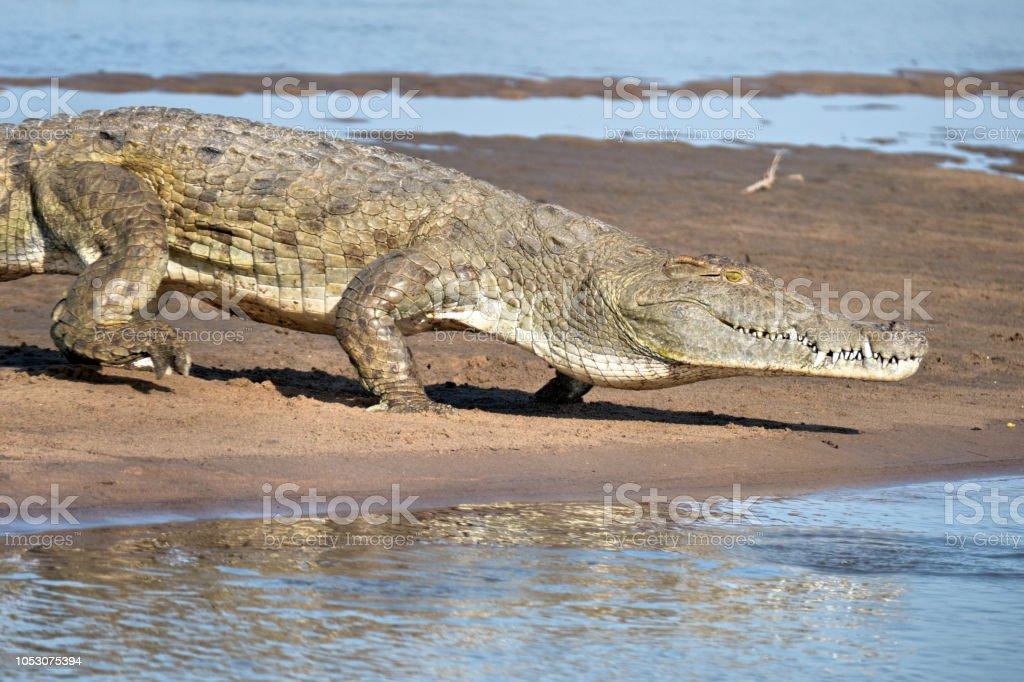 Crocodile du Nil, entrer dans l'eau, Tanzanie - Photo