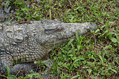 Nile crocodile in a pond in the primeval forests of the Andasibe National Park, Eastern Madagascar