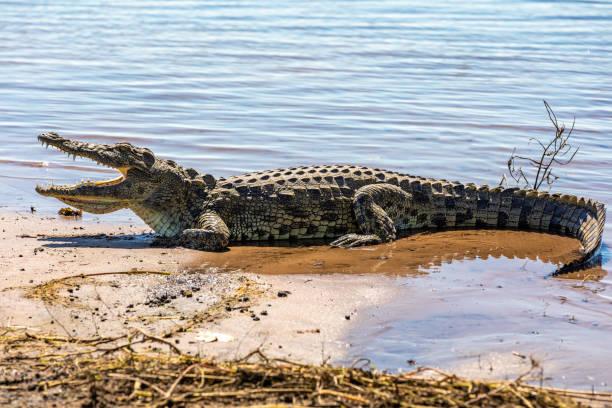 Nile Crocodile in Chobe river, Botswana stock photo