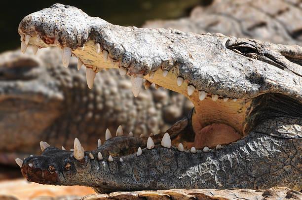 Nile crocodile in Kenya, mouth wide open stock photo