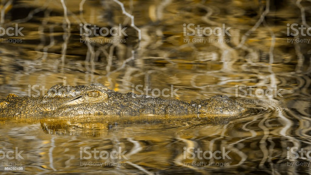 Nile crocodile in Kruger National park, South Africa royalty-free stock photo