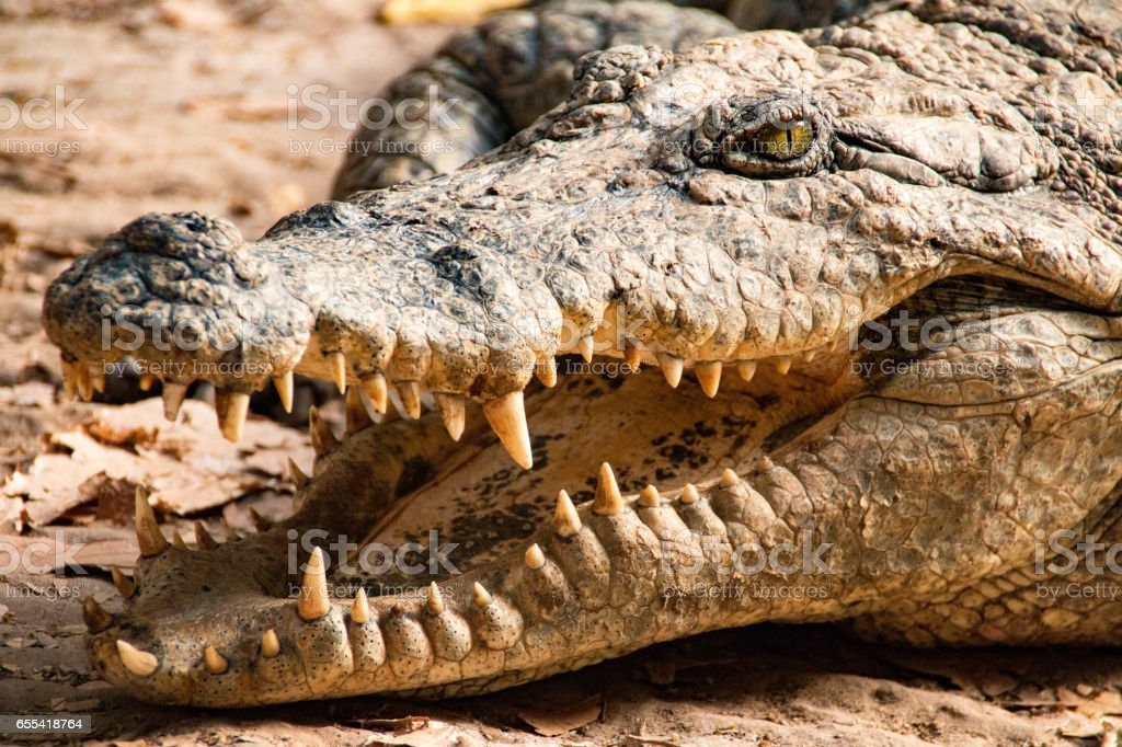 Nile crocodile in the Gambia River in the Gambia, West Africa stock photo