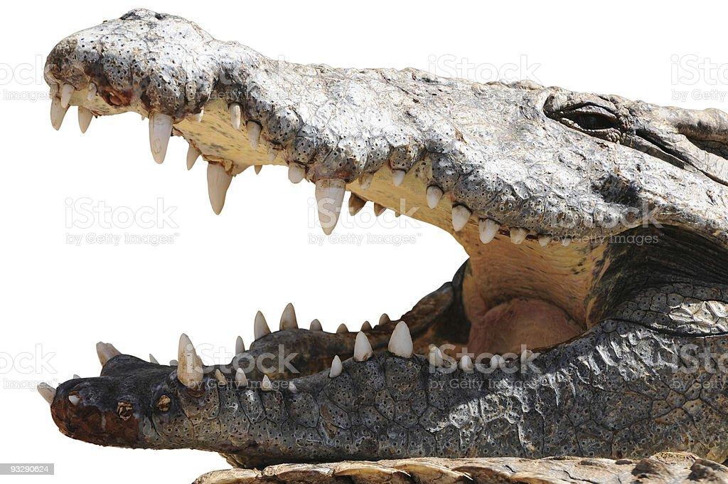 Nile crocodile, mouth open, Kenya, isolated on white stock photo