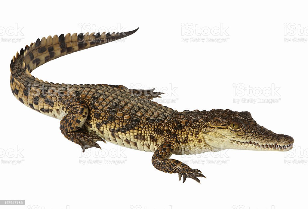 Nile crocodile royalty-free stock photo