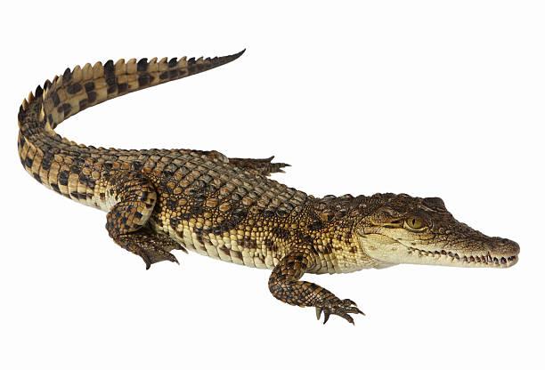crocodile du Nil - Photo