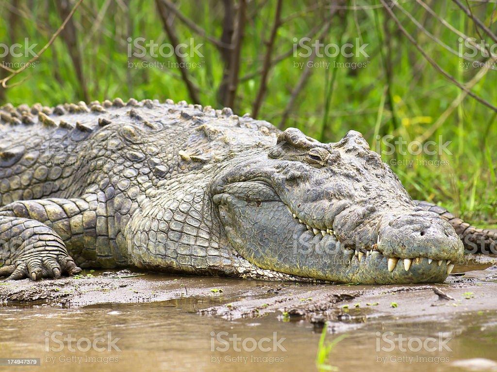 Nile Crocodile stock photo