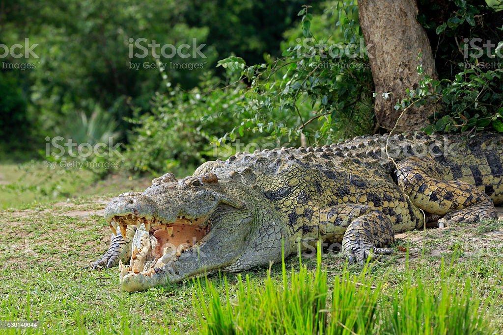 Nile Crocodile bildbanksfoto