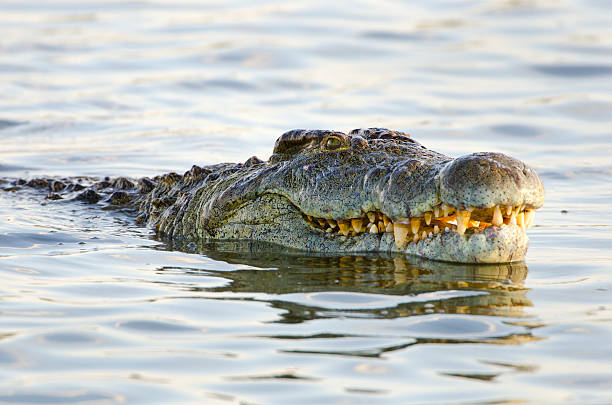 Nile Crocodile - South Africa Nile Crocodile. Kruger National Park. South Africa. transvaal province stock pictures, royalty-free photos & images