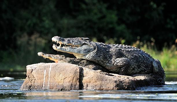 crocodile du Nil. Deux des crocodiles, après avoir ouvert de la chaleur - Photo