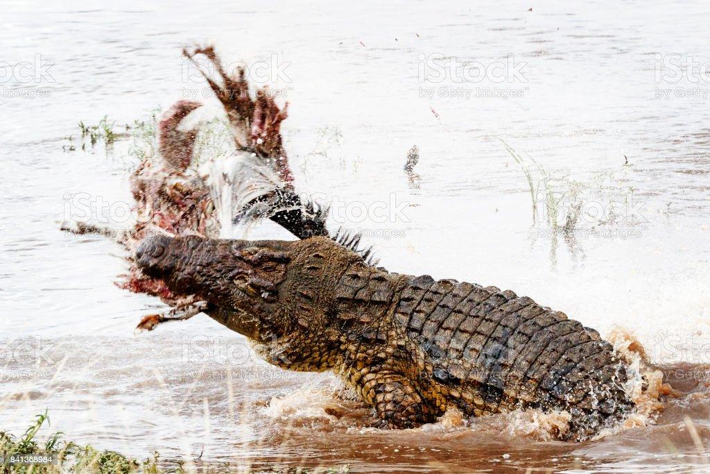 Nilkrokodil Mit Kill Im Mara River Stock-Fotografie und mehr Bilder ...