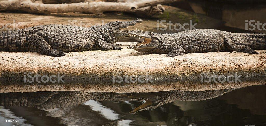 Nile Crocodiles stock photo