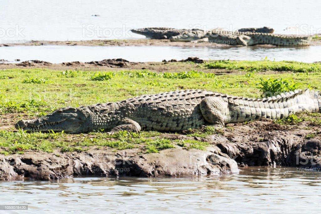 Crocodiles du Nil au soleil sur la berge, Tanzanie - Photo