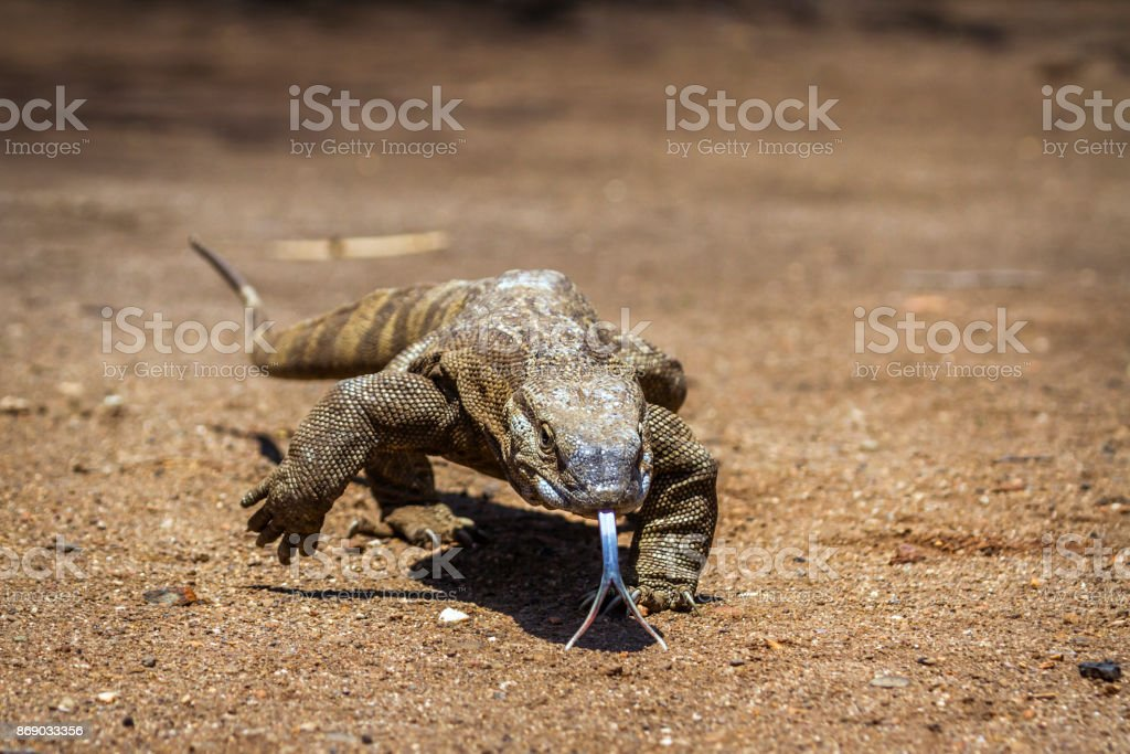 Nile monitor in Kruger National park, South Africa stock photo