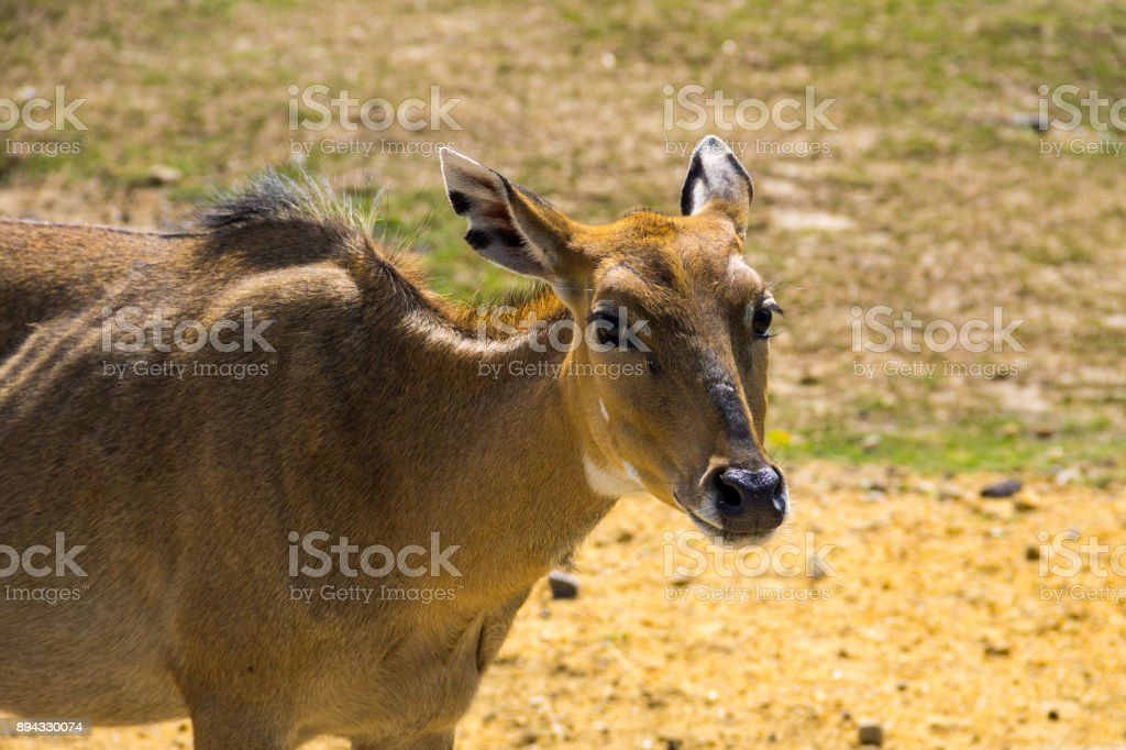 Nilgai or Blue Bull (Boselaphus Tragocamelus) stock photo