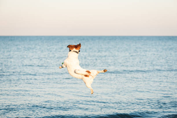 Nimble dog jumps high to catch flying disc at beach picture id1159666073?b=1&k=6&m=1159666073&s=612x612&w=0&h=ewuoxz0ladh0wv0dkmyuph6wd55mfa7zfcyl4s7cebi=