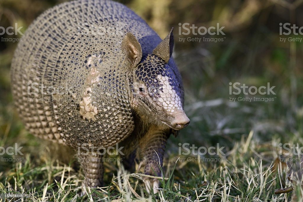Nine Banded Armadillo stock photo