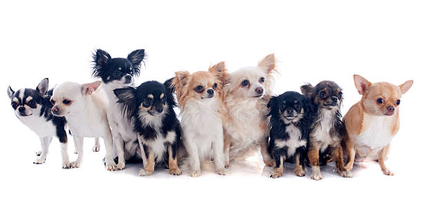 nine chihuahuas group of chihuahua  in front of white background short haired chihuahua stock pictures, royalty-free photos & images