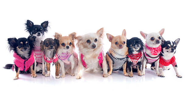 nine chihuahuas group of chihuahua dressed in front of white background short haired chihuahua stock pictures, royalty-free photos & images