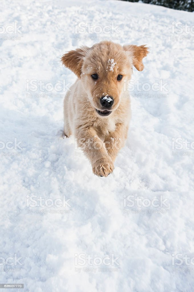 Nine Week Old Golden Retriever Puppy Running In The Snow Stock Photo