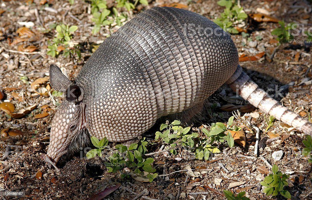 Nine-Banded Armadillo Digging for Food stock photo
