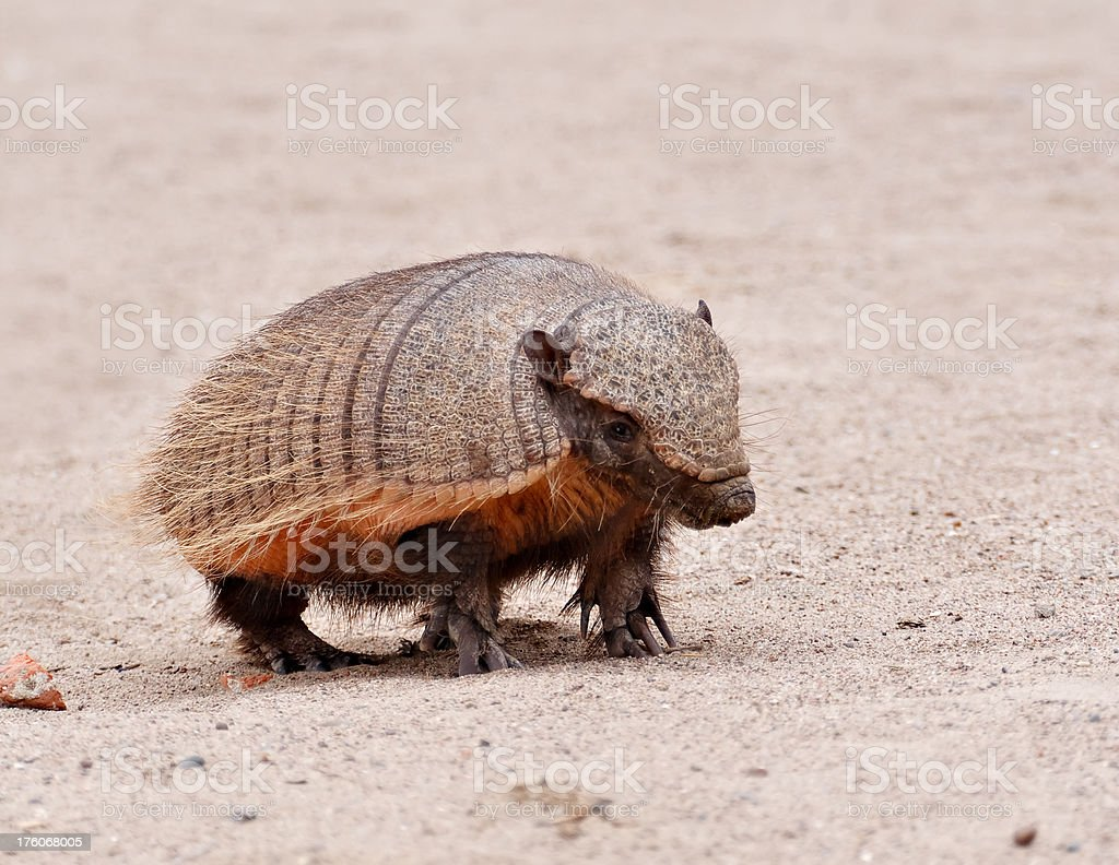 Nine-Banded Armadillo stock photo