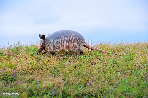 A Nine-banded Armadillo,Dasypus novemcinctus, saunters along on the crest of a small hill.