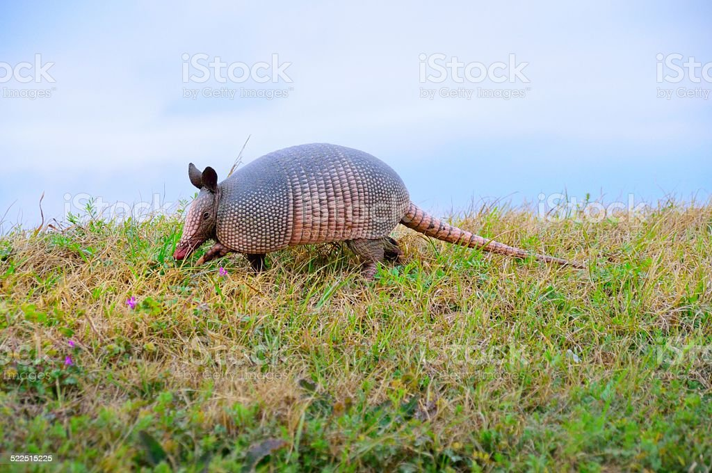 Nine-banded Armadillo Stepping Out stock photo