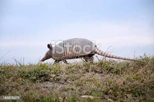 A Nine-banded Armadillo trots along the wetlands in the Savannah River NWR on the Georgia and South Carolina border
