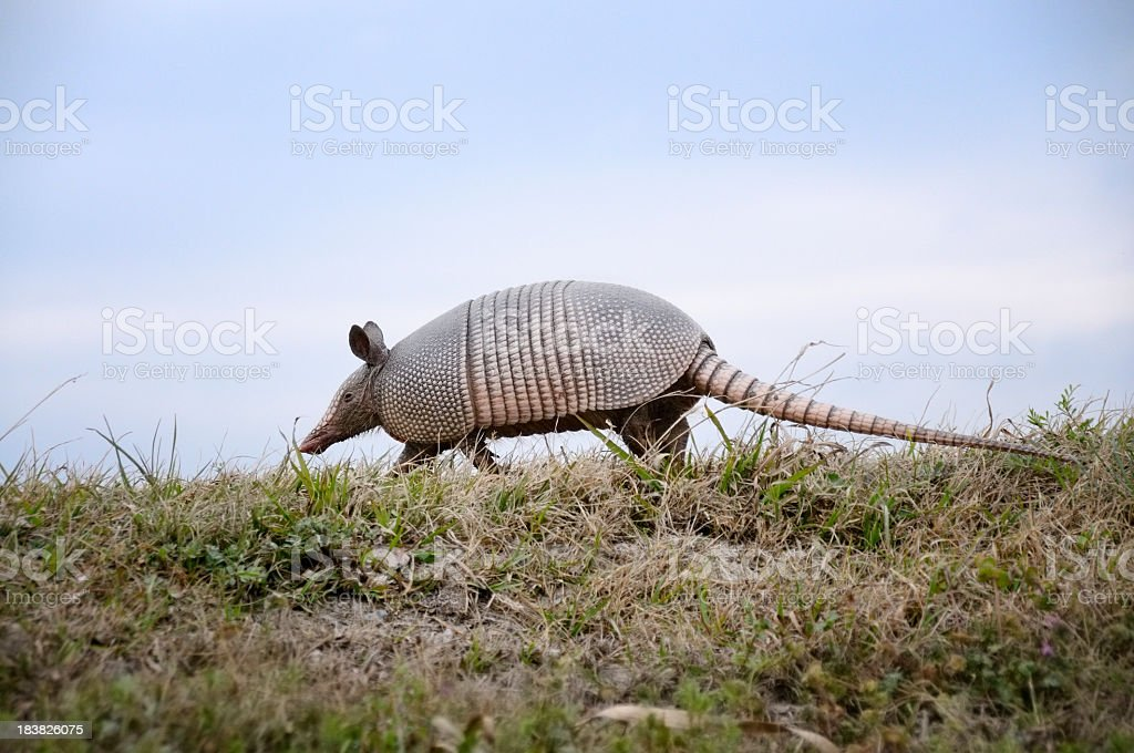 Nine-banded Armadillo,Dasypus novemcinctus stock photo