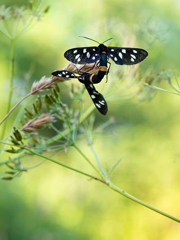 istock Nine-spotted moth or yellow belted burnet (Amata phegea) mating 1223638354