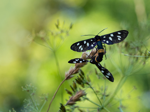 istock Nine-spotted moth or yellow belted burnet (Amata phegea) mating 1223638355