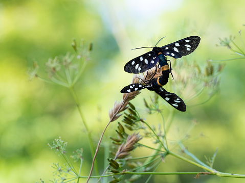 istock Nine-spotted moth or yellow belted burnet (Amata phegea) mating 1223638357