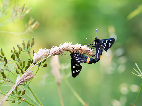 istock Nine-spotted moth or yellow belted burnet (Amata phegea) mating 1223638364