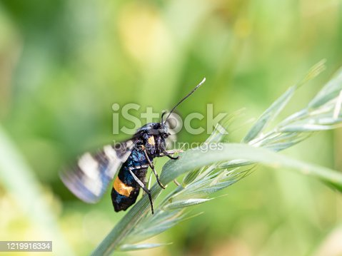 istock Nine-spotted moth or yellow belted burnet (Amata phegea) 1219916334