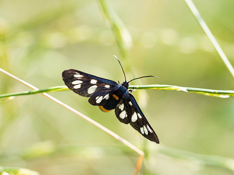 istock Nine-spotted moth or yellow belted burnet (Amata phegea) 1219916338