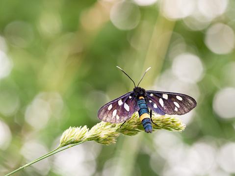 istock Nine-spotted moth or yellow belted burnet (Amata phegea) 1219916349