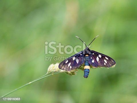 istock Nine-spotted moth or yellow belted burnet (Amata phegea) 1219916363