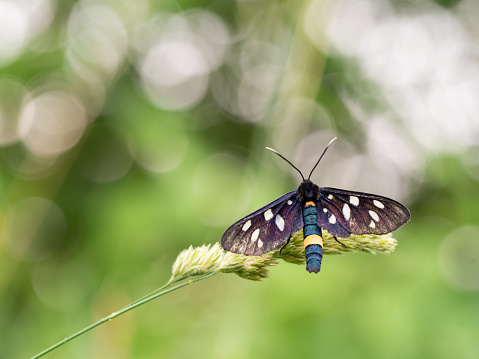 istock Nine-spotted moth or yellow belted burnet (Amata phegea) 1221621097