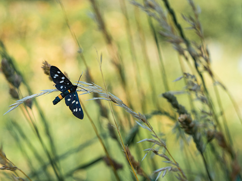 istock Nine-spotted moth or yellow belted burnet (Amata phegea) 1221621108